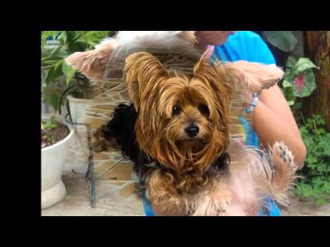 beautiful pictures of dog breed Yorkshire Terrier