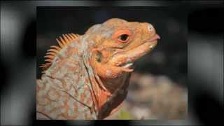 Sandy Cay: An Iguana