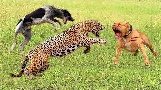 野生動物の戦い強力なライオン対チーター、ヒョウ対モンキードッグ、虎...