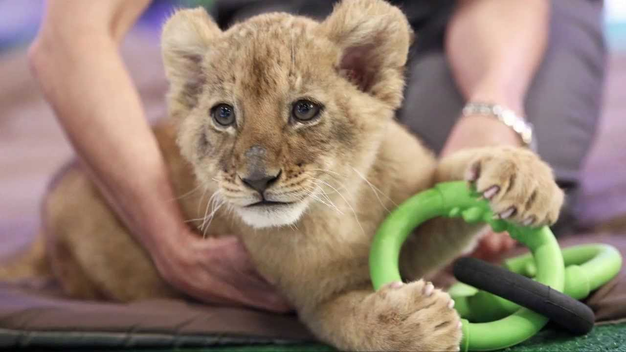 Edge of Africa: Lion Cubs | Busch Gardens Tampa Bay - YouTube