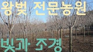 왕벚 전문농원 빛과조경 탐방기