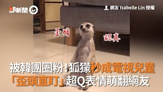 被韓團圈粉!狐獴秒成電視兒童 「歪頭直盯」超Q表情萌翻網友
