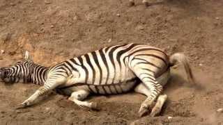 ZEBRA - зебра - Zoo w Łodzi