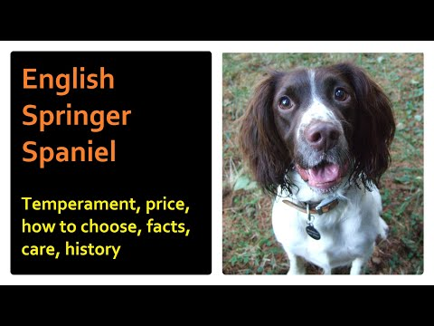 English Springer Spaniel.  Temperament, price, how to choose, facts, care, history