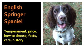 English Springer Spaniel. Pros and Cons, Price, How to choose, Facts, Care, History