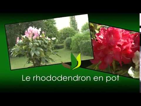 le rhododendron en pot jardinerie truffaut tv youtube. Black Bedroom Furniture Sets. Home Design Ideas