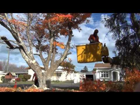 Maple Tree tumble