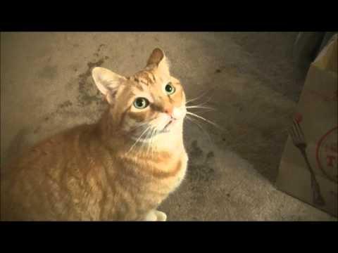 Purd Manx Cat FETCH ! Cute!