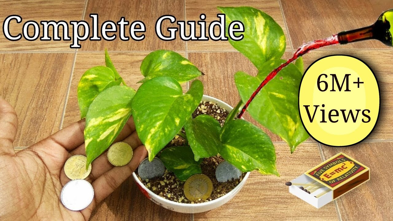 How grow Money plant , Complete guide