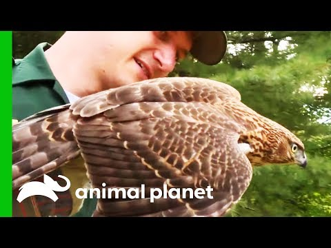Conservation Officer Rescues Hawk Trapped In Basement | North Woods Law
