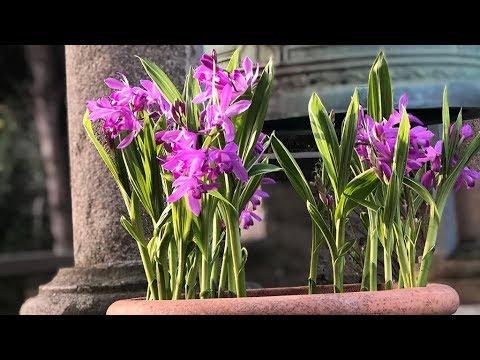 Bletilla Striata Urn Orchid Farmergracy Co Uk Youtube