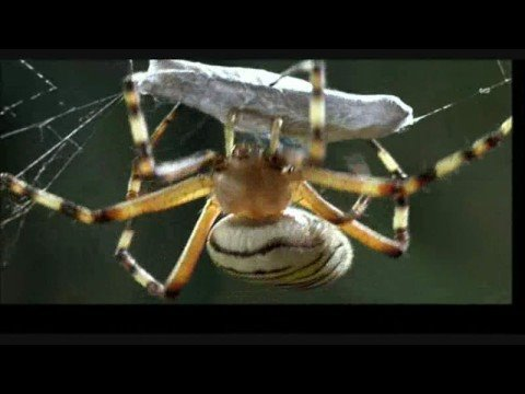 Spider Eats Grasshopper HQ Video