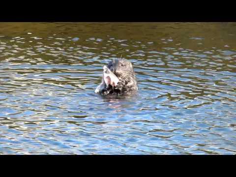 Wild Sea Lion Enjoying His Fish Lunch