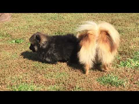 German Spitz  male for sale Euro Puppy