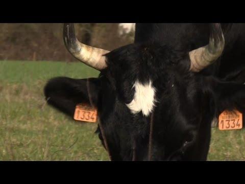 Fine vache Bretonne Pie-Noir et égérie du Salon de l\'agriculture ...
