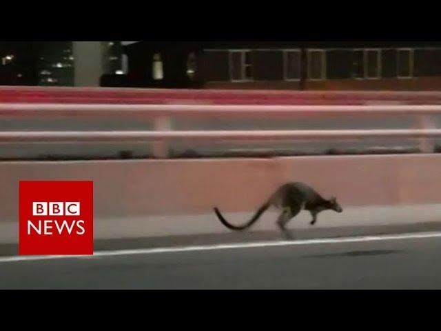 wallaby-gives-police-slip-on-sydney-bridge-bbc-news