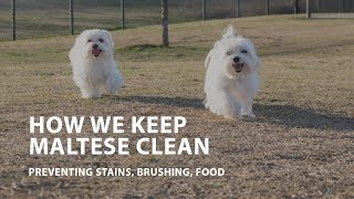How We Keep Maltese Clean  Preventing Stains, Brushing, Food