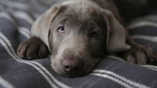 Vlog:  Мне подарили собаку! Щенок лабрадора. Silver labrador