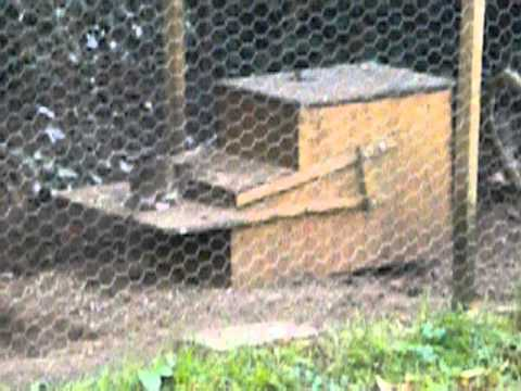how to get rid of rats in chicken coop