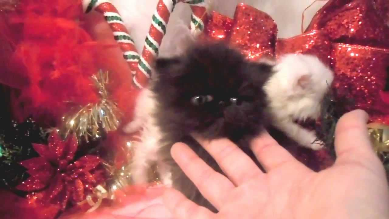 Amazing Tiny Teacup Persian Kittens Available For Xmas