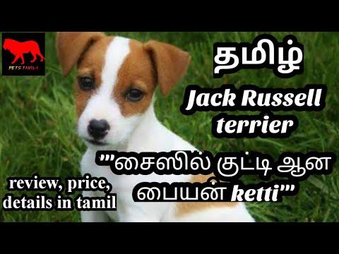Jack Russell terrier in tamil/dog/petstamila/Tamil