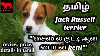 Jack Russell terrier in tamil/dog/petstamila/Tamil/russell terrier dog/ dogs/foreign dog breed