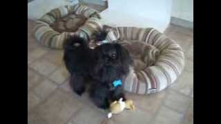 Orion-black Chinese Imperial Shih Tzu