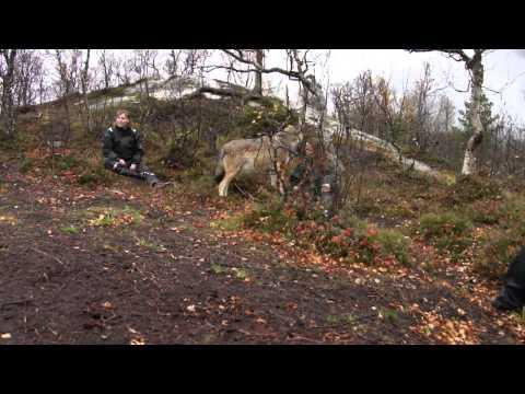 Ulvebesøg i Polar Zoo Bardu Norge
