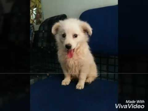 Pomeranian Indian Spitz Puppy Growing Up 6 Week To 12 Months