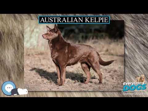 Australian Kelpie 🐶🐾 Everything Dogs 🐾🐶