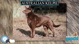 Australian Kelpie  Everything Dogs