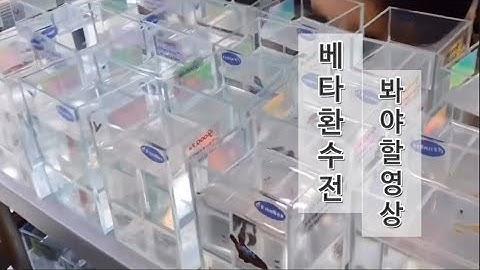 [물생활] 베타피쉬 환수전 이건 꼭보자!!!