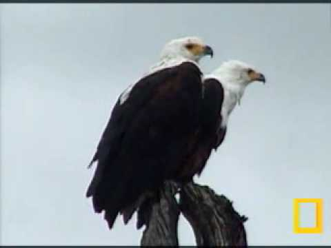 African Fish Eagle's