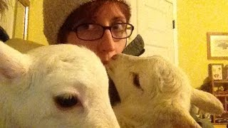 CUDDLING WITH A LAMB - Everything is better Sheep :)