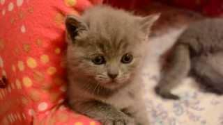Забавные британские котята