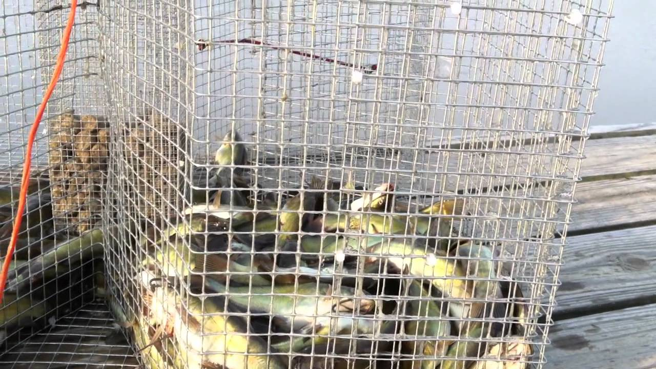 Many bullhead in the perch trap youtube for Homemade fish traps