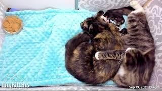 Feral cat helps raise her friend's newborn kittens