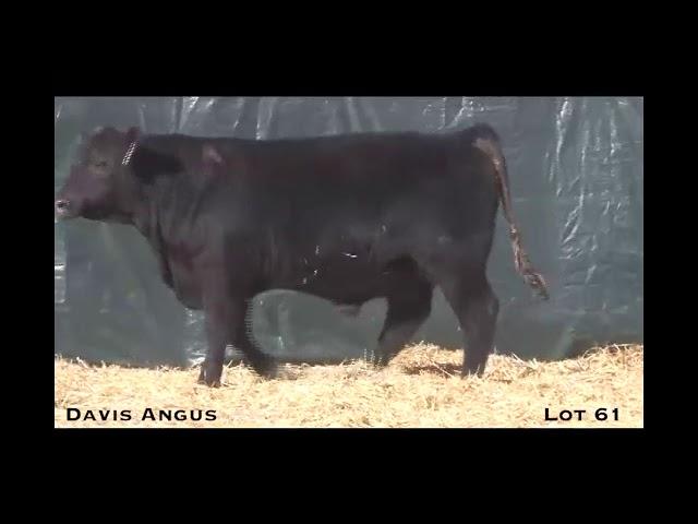 Davis Angus Lot 61