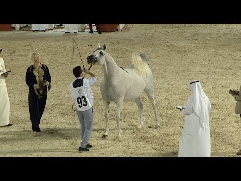 Beautiful Horses Stride at Jeddah Arabian Horse Show