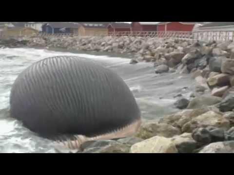 Carcaça de baleia azul prestes a explodir no Canadá