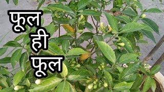 How to obtain more flowering on chandni plant. |चांदनी के प्लांट की केअर्.|in हिंदी