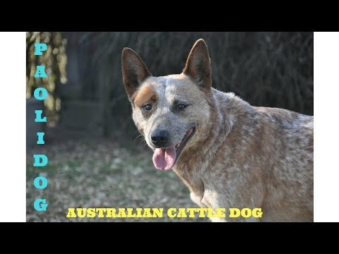 AUSTRALIAN CATTLE DOG  (Top 10 interesting facts)