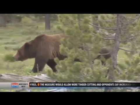 Grizzly bear shot near West Yellowstone