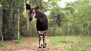 Okapi, Okapi Wildlife Reserve, Congo