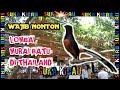Lomba Murai Batu Di Thailand Seru Abis Nyesel Gak Nonton  Mp3 - Mp4 Download