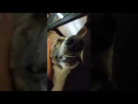 Adorable Whippet gets spa treatment