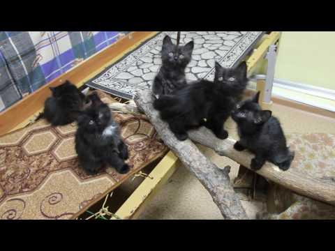 Дворянские котята. 2 месяца