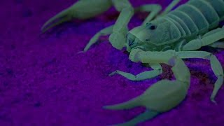 Ultraviolet Scorpion Captures Prey - Wonders Of Life W/ Prof Brian Cox - BBC