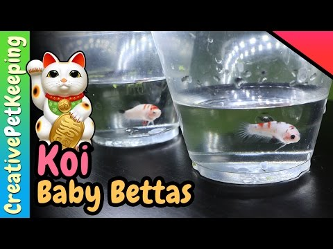 A Closer Look at the Koi Betta Fish Babies