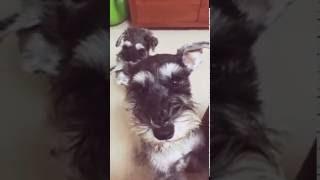 ダッコをねだる犬2匹の動画です。 トミーとラルフの生活 http://schnau...